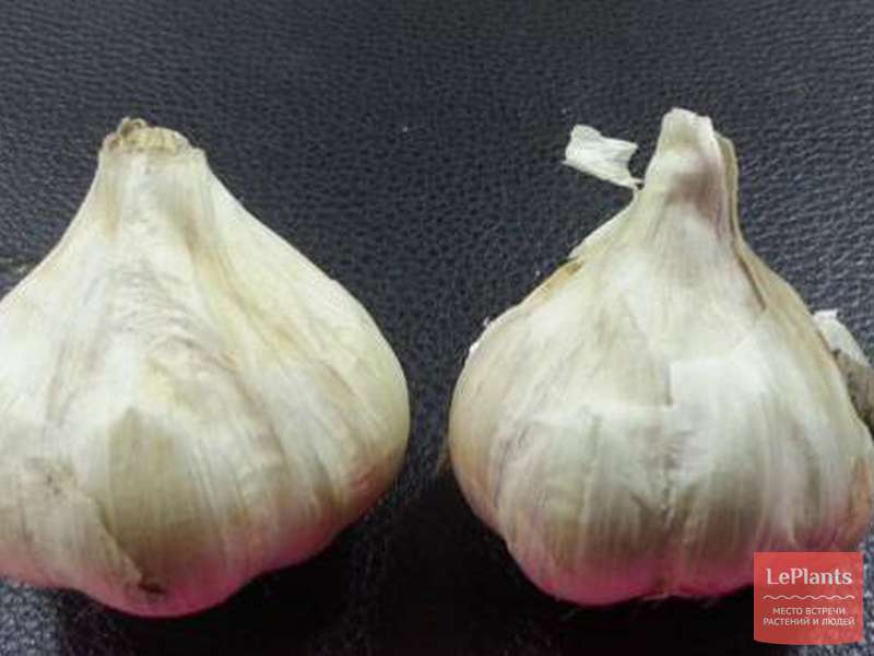Чеснок скиф: описание сорта с фото, выращивание и уход