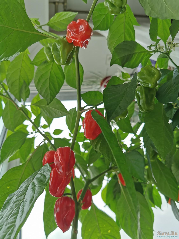 Хабанеро перец: особенности сорта и выращивания