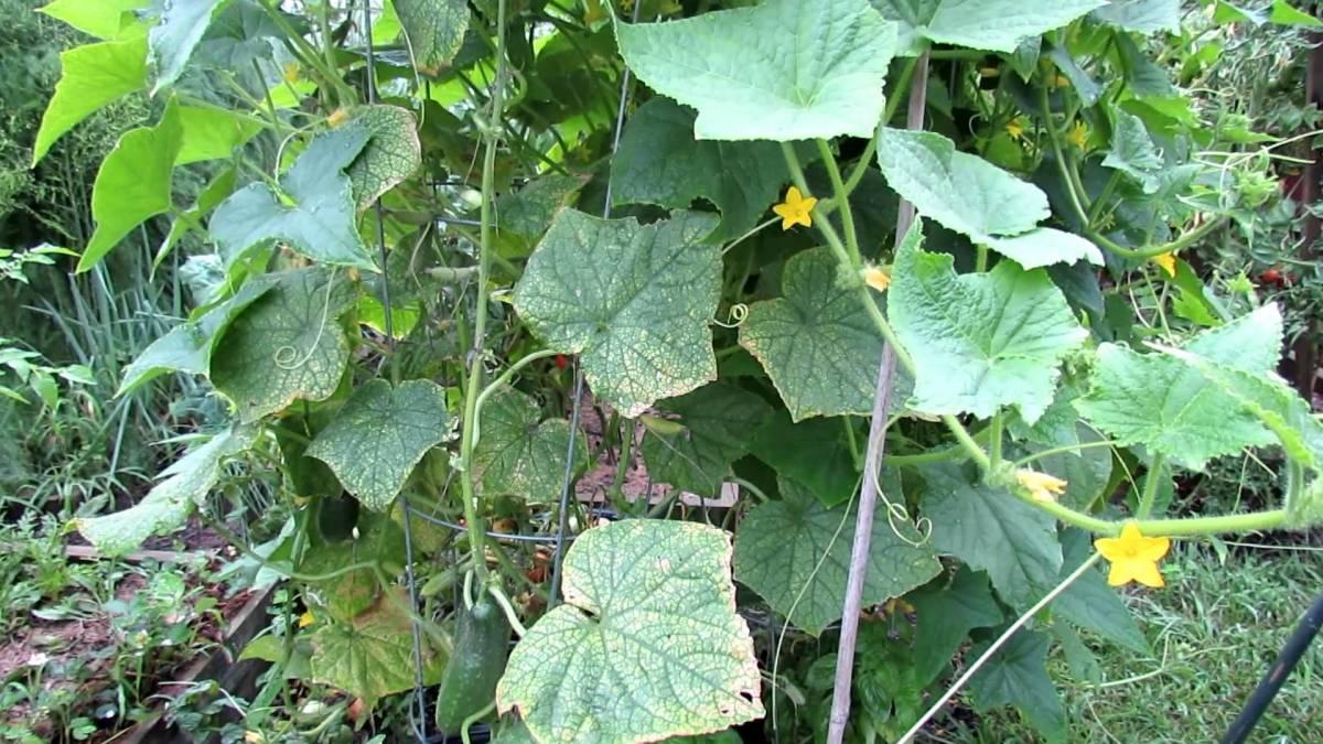 Почему белеют листья у огурцов: что делать, профилактика