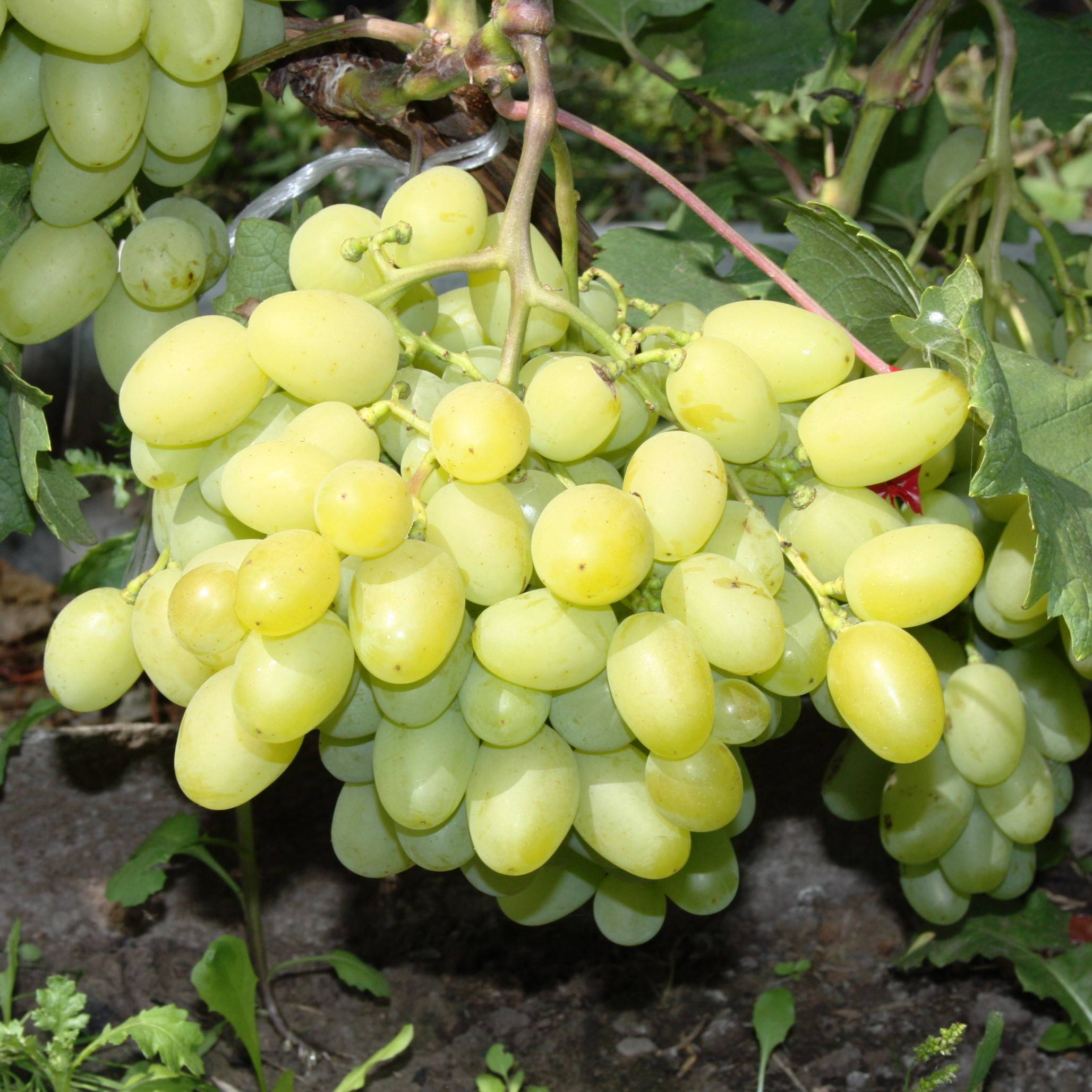 Описание и характеристики винограда сорта галахад, достоинства и недостатки - всё про сады