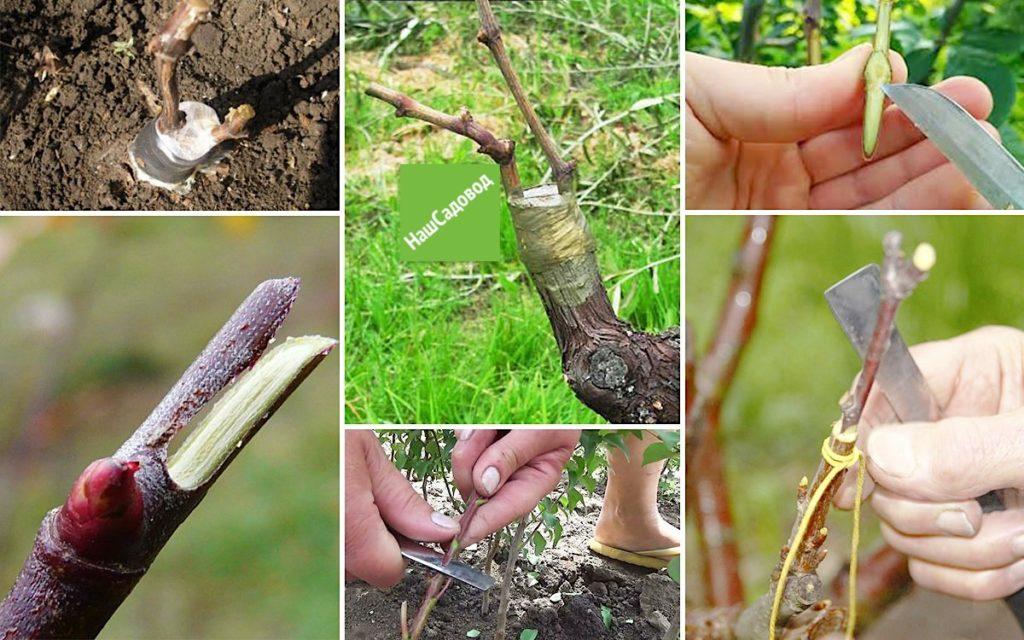 Прививка винограда весной: как делать, сроки