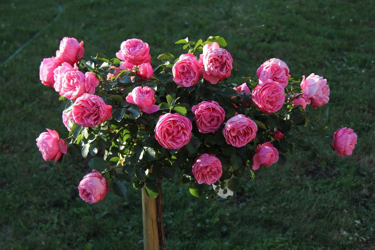 Пионовидные розы — посадка, уход и выращивание в домашних условиях (130 фото)