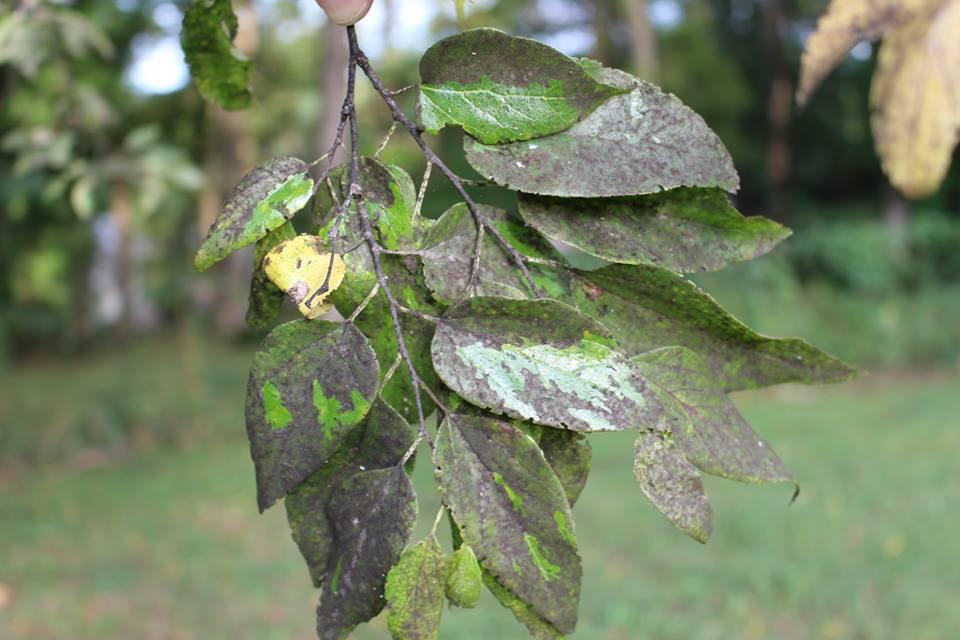 Коричневые пятна на листьях яблони: что это и как лечить
