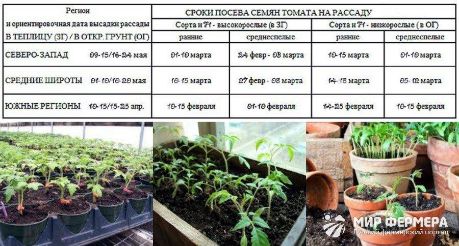 Когда высаживать рассаду помидор в открытый грунт: схема и сроки посадки томатов