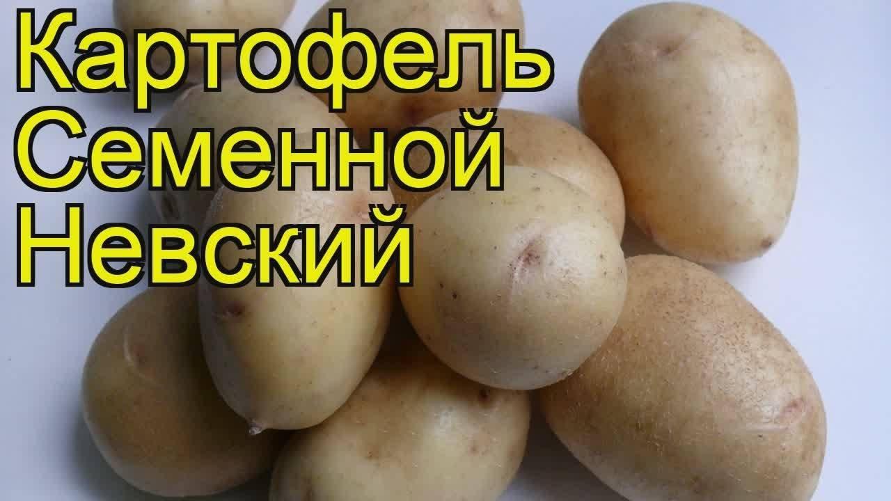 Картофель сорта лорх: воскрешённый из небытия