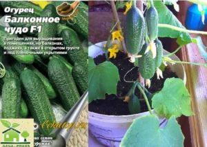 Лучшие сорта огурцов для выращивания на подоконнике, балконе, лоджии: какие подходят для посадки дома