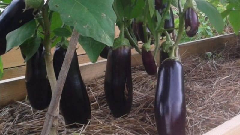 Баклажан робин гуд: отзывы фермеров с опытом, описание и характеристики сорта, особенности выращивания
