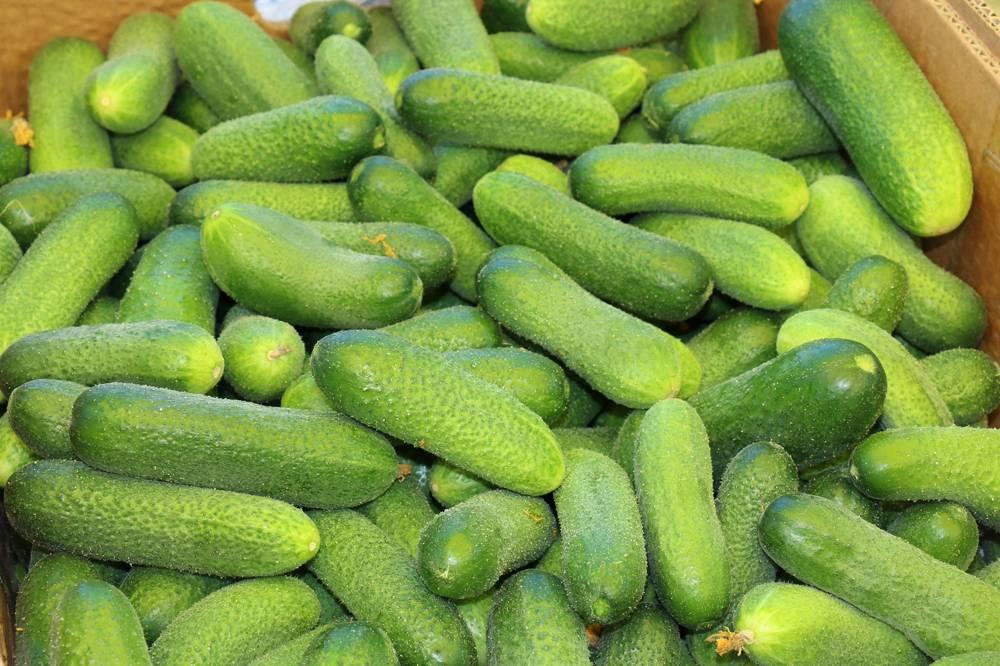 Луховицкие огурцы: достоинства сорта и его агротехника