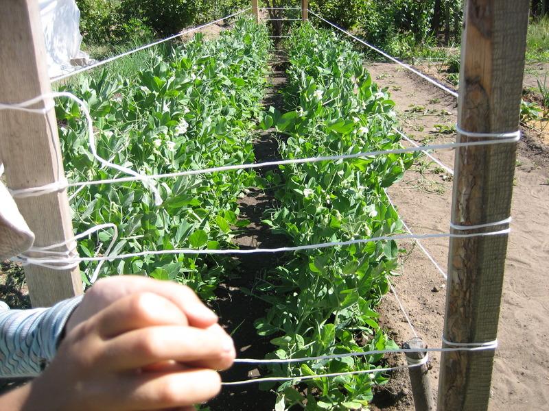 Опора для гороха (14 фото): как сделать своими руками подпорки и шпалеру, как подвязать растение на грядке в открытом грунте