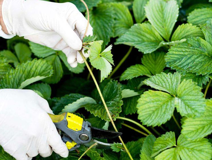 Осенняя обрезка клубники: разбираемся в нюансах   огородники