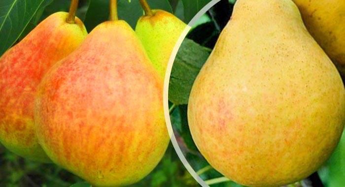 Груша пакхам: описание сорта и характеристики, посадка, выращивание и уход с фото
