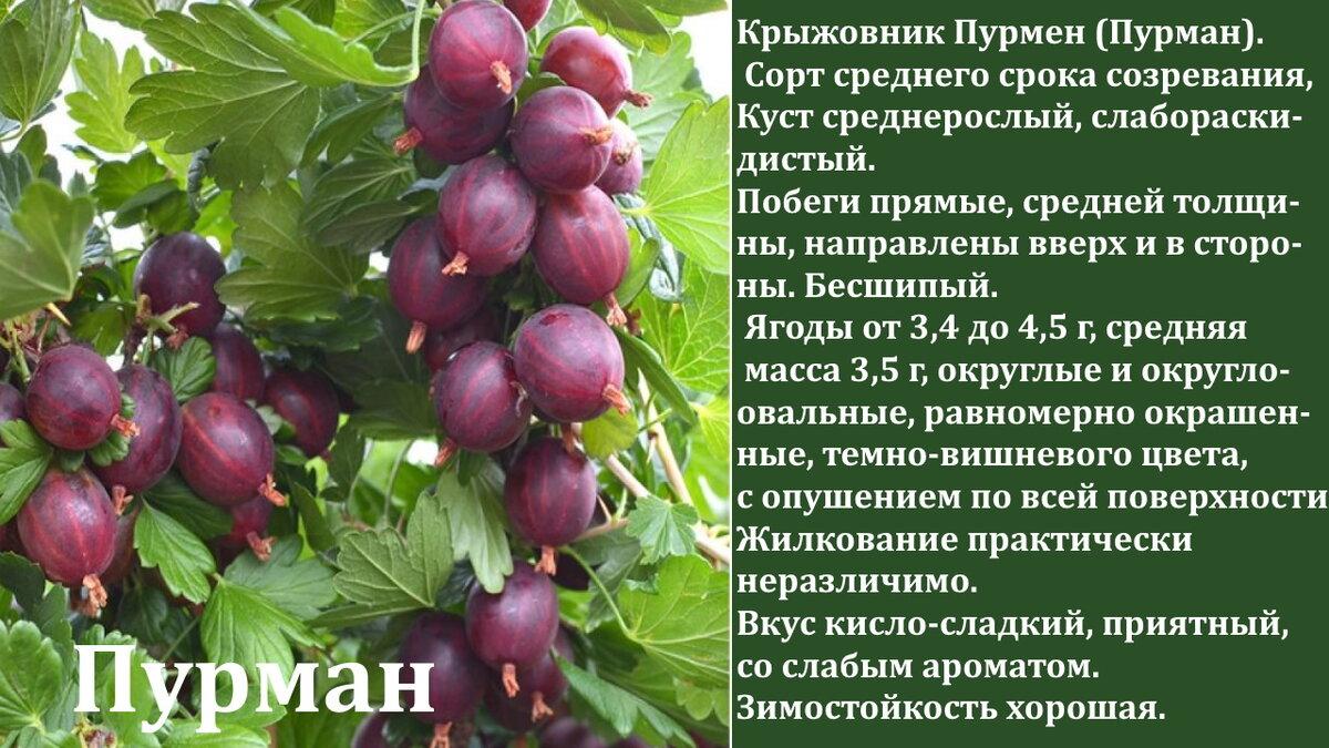 Сорт крыжовника колобок: описание, характеристики, посадка и выращивание