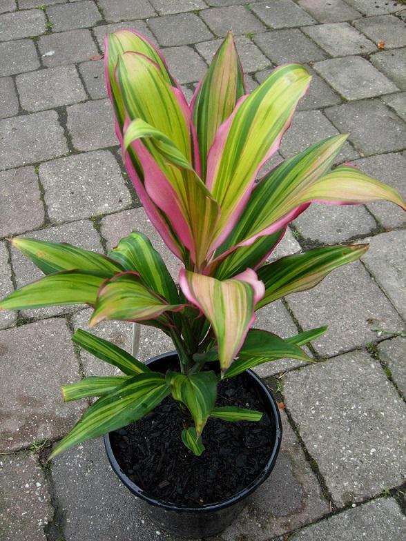 Кордилина (31 фото): уход за цветком в домашних условиях, виды с названиями фрутикоза и верхушечная «киви», прямая и южная, размножение комнатного растения