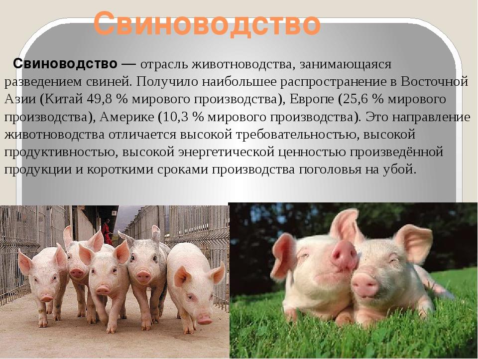 Разведение свиней в домашних условиях для начинающих: советы с видео