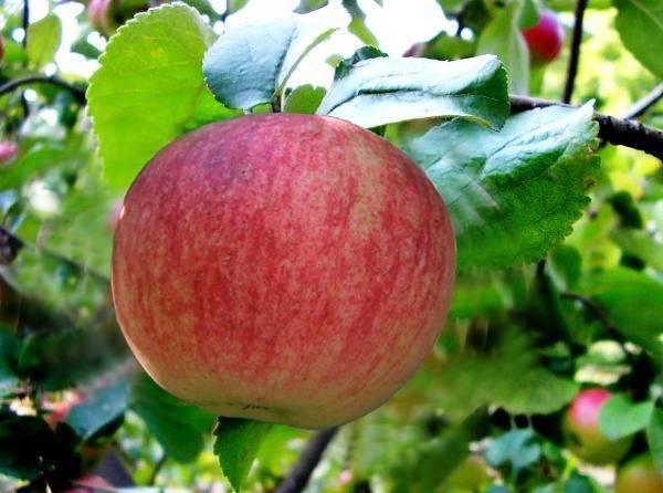 Яблоня «штрейфлинг»: описание сорта, фото и отзывы