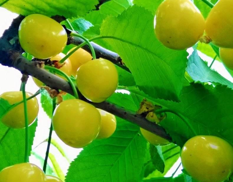 Яблоня россошанское: полосатое, вкусное, весеннее, багряное и другие разновидности сорта