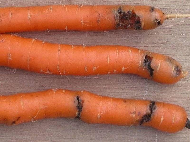 Опасные вредители моркови и борьба с ними