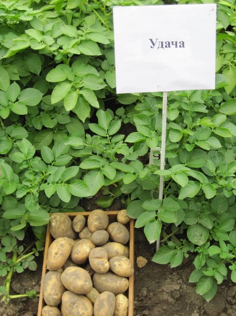 Сорт картофеля гала: характеристики, подробное описание, наглядные фото русский фермер
