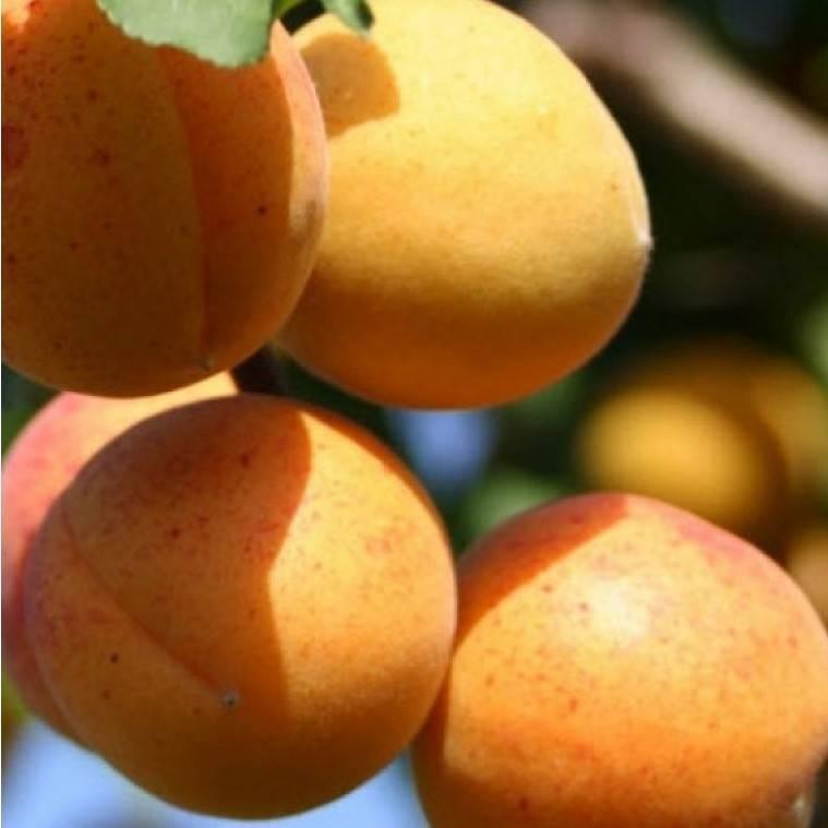 Абрикос - 103 фото полезного сочного фрукта для вашего сада