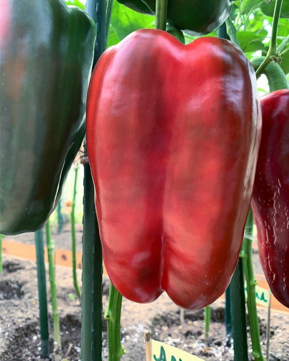 Что такое индетерминантные перцы: виды, популярные сорта с описаниями