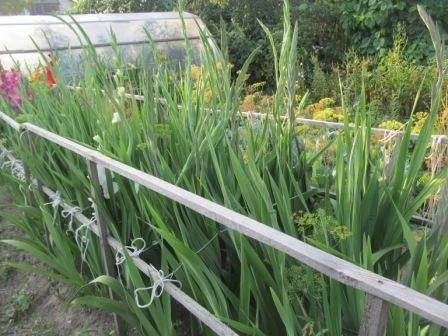 Гладиолусы: чем обработать перед посадкой весной от трипсов и других вредителей, от болезней, для всхожести, как правильно выбрать и прорастить луковицы?
