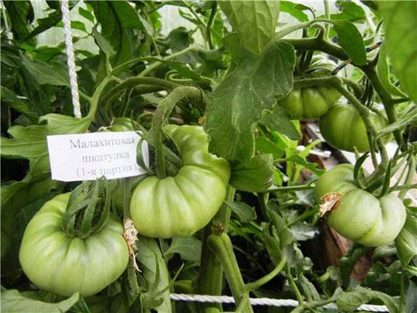 Специфика выращивания и характеристика томата малахитовая шкатулка
