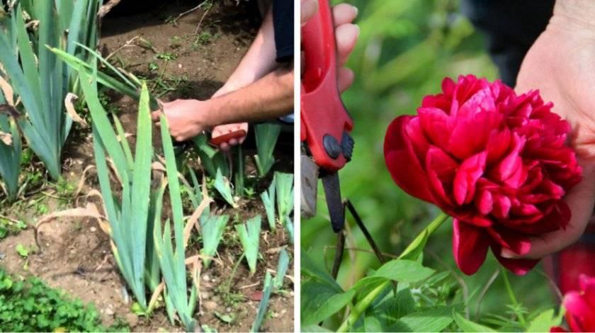 Пионы – лучший выбор для садовода