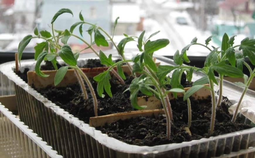 Когда и как пересадить рассаду помидор в теплицу и открытый грунт