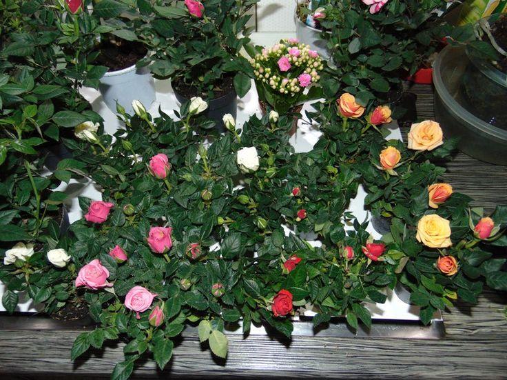 Как ухаживать за розой кордана микс после покупки