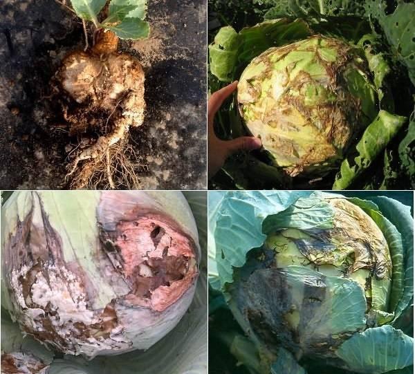 Болезни капусты и как с ними бороться