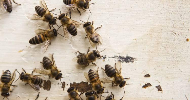 Как избавиться от пчел и ос на даче, в доме, на участке