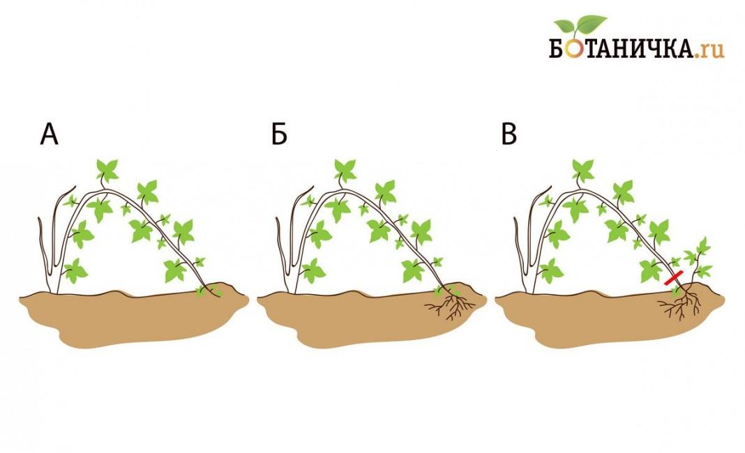 Размножение ежевики: черенками, отводками и другими способами