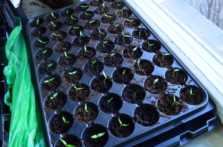 Выращиваем баклажаны: посадка на рассаду, сроки первых всходов, уход за молодыми саженцами