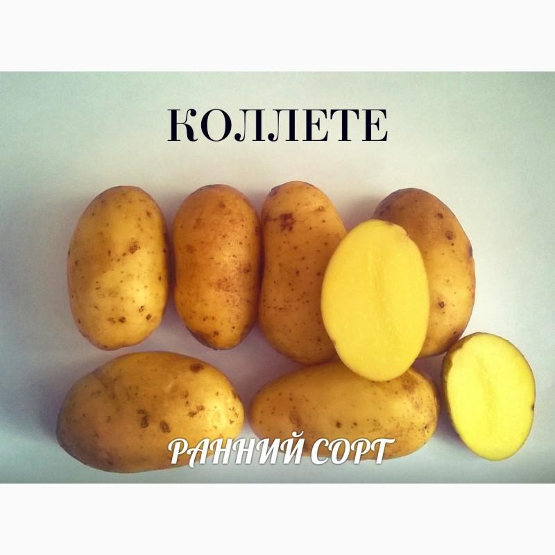 Картофель аврора – описание сорта, фото, отзывы