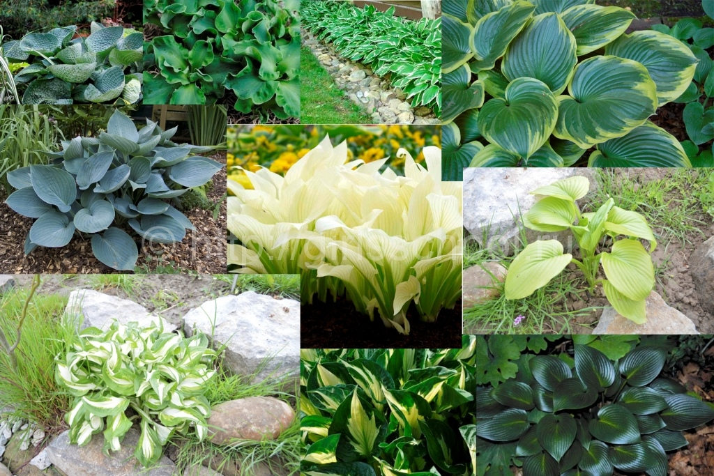 Хоста: посадка и уход в открытом грунте, выращивание и сочетание в ландшафтном дизайне, фото, размножение сорта