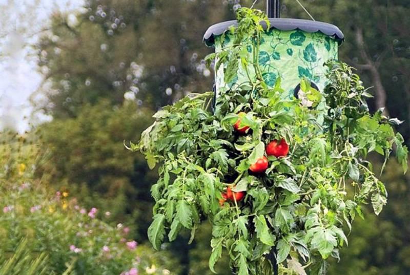 Технология topsy turvy в теплице: выращиваем вверх корнями!