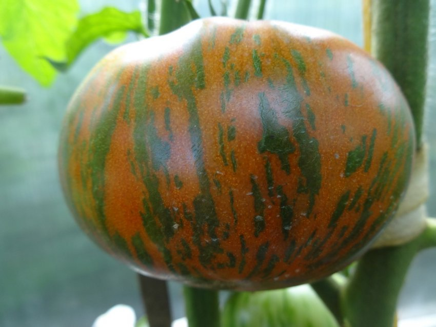 Томат шоколадный полосатый chocolate stripes: характеристика, описание сорта с фото и видео, отзывы, урожайность