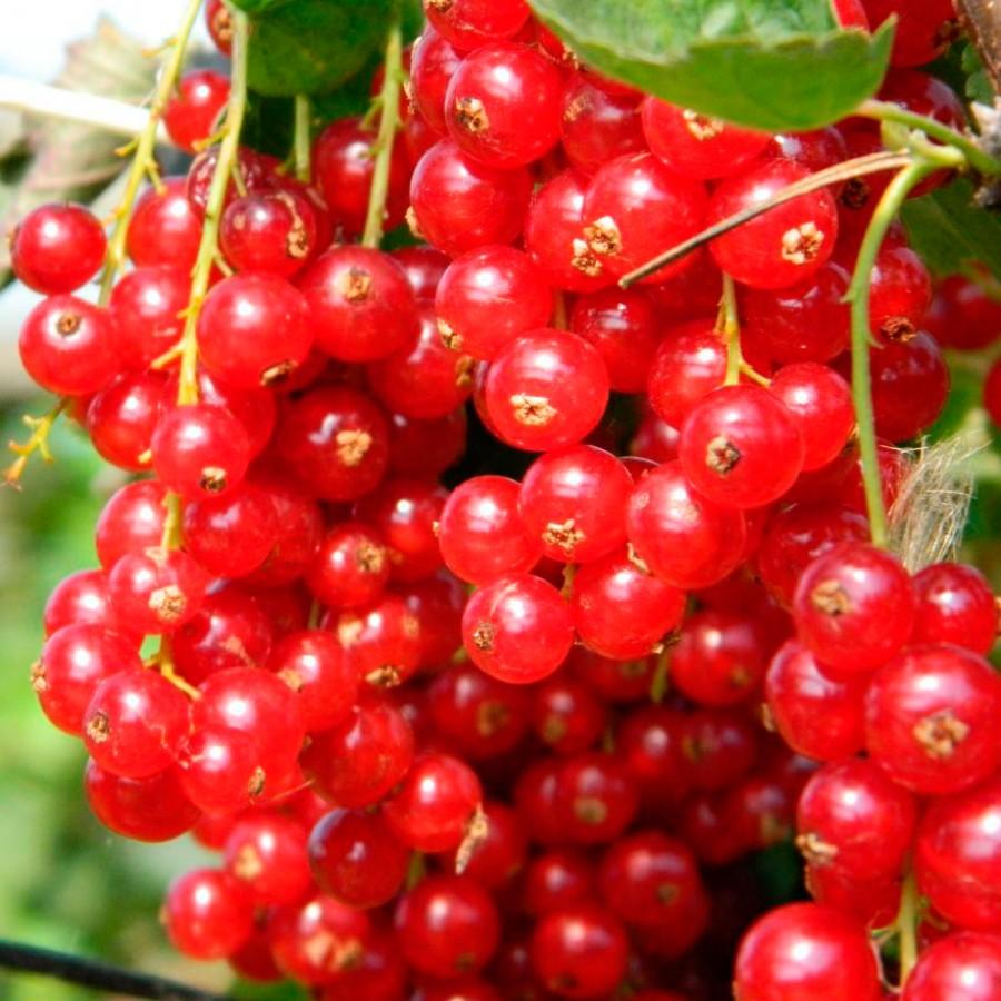 Лучшие сорта красной смородины - 35 самых сладких и урожайных для подмосковья, сибири, средней полосы, урала, ранние, морозостойкие