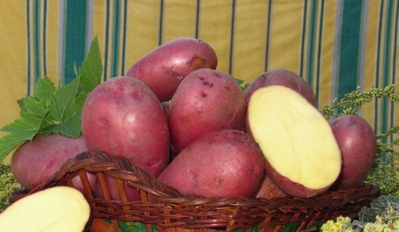 Сорт картофеля ароза: описание, посадка и уход русский фермер