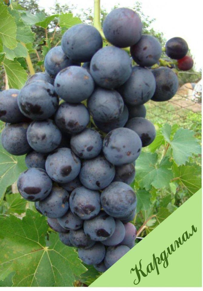 Виноград кардинал: история, описание и характеристики сорта, отзывы виноградарей + правила посадки и выращивания