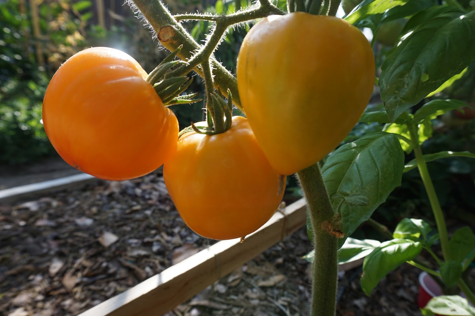 Лучший экзотический сорт для приготовления сока — томат гавайский ананас: советы огородников по уходу