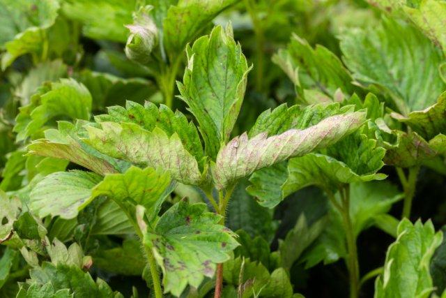 О скручивающихся листьях у клубники: что делать если листья сворачиваются