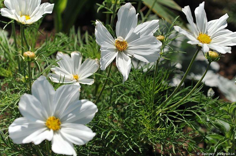 Космея посадка и уход в открытом грунте, роль сорта в ландшафтном дизайне, выращивание и размножение