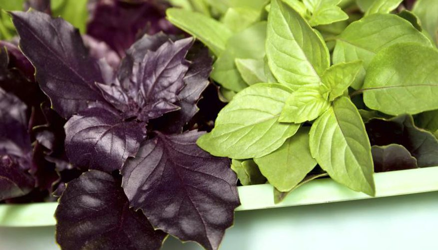 Базилик зеленый и фиолетовый: чем отличаются виды, а также лучшие душистые сорта - священный тулси, опал красный, лимонный, эвгенольный, арарат, гвоздичный и другие
