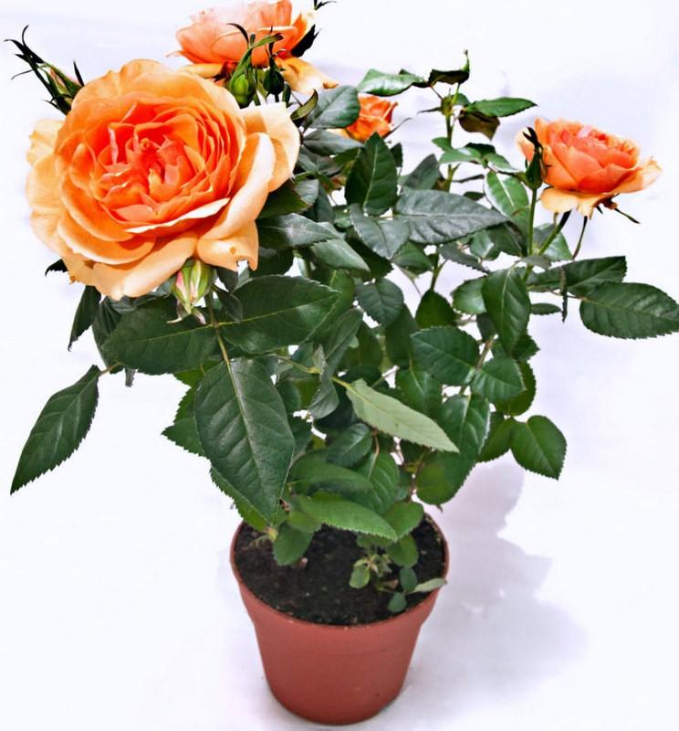 Кустовая роза в горшке: уход в домашних условиях и выращивание комнатного цветка, описание и виды, болезни и вредители, а также как правильно размножить? selo.guru — интернет портал о сельском хозяйстве