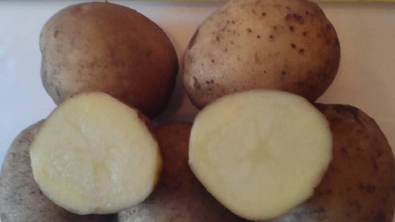 Картофель зорачка: характеристика и описание сорта, фото, отзывы