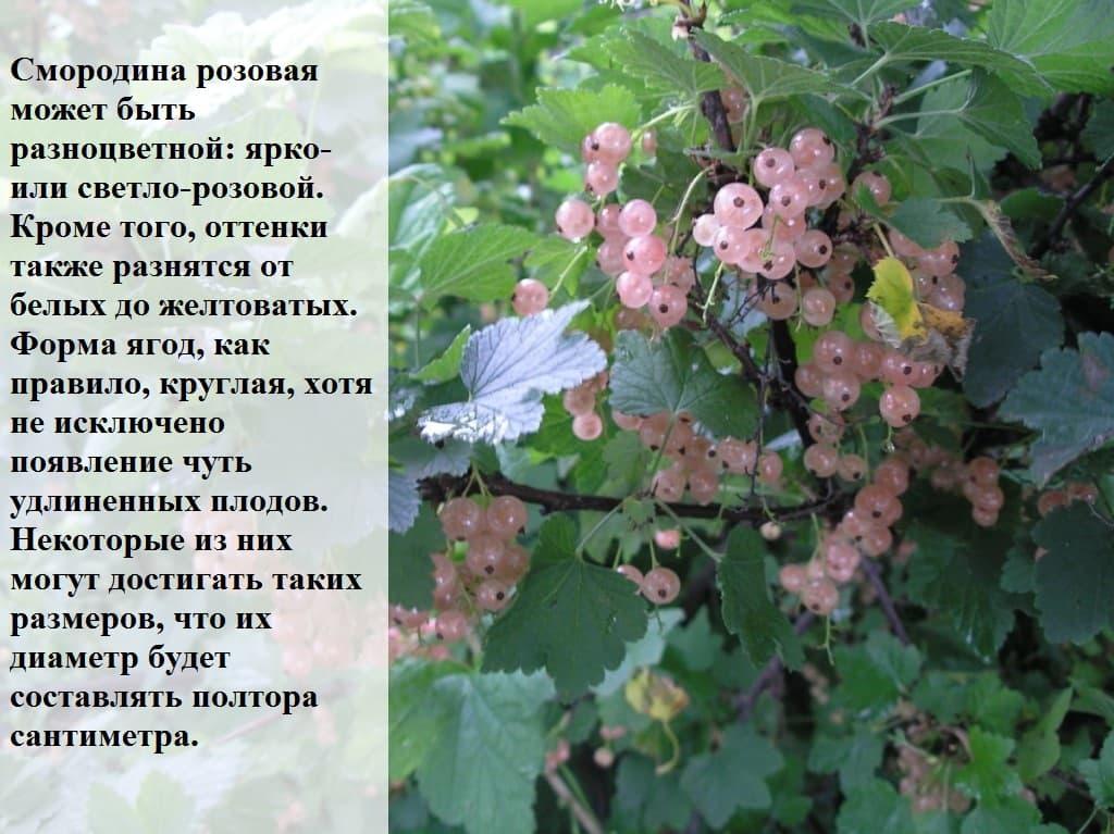 Декоративная смородина кроваво-красная. описание, сорта, выращивание и уход. фото — ботаничка.ru