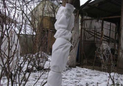 Подготовка яблонь к зиме в подмосковье