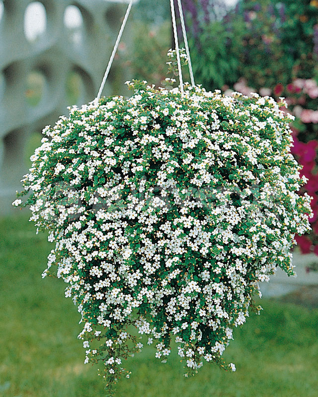 Ампельные комнатные растения (33 фото): виды висячих цветов для дома. теневыносливые свисающие вниз домашние цветы и другие