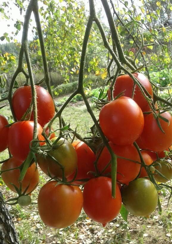 Выращивание помидоров бонсай дома на подоконнике и на балконе: особенности сорта томатов, а также рекомендации по выбору горшка и почвы, советы по посадке и уходу русский фермер